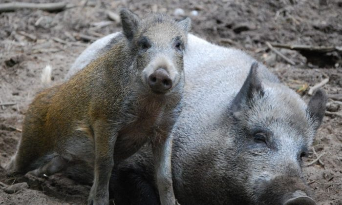 Wild boars. (Public Domain)