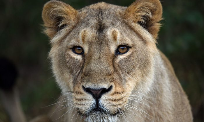 A lioness waits to be fed at a zoo. (Carl Court/Getty Images)