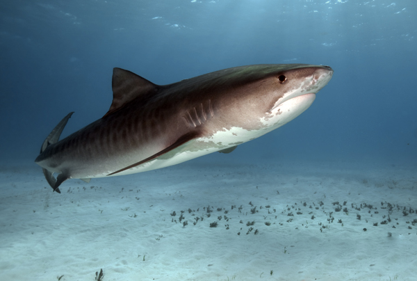 A Tiger Shark is pictured in this file photo. (Shutterstock)