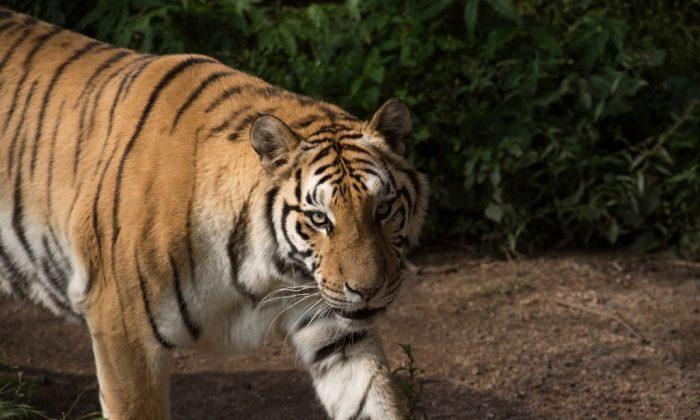 A Siberian tiger (not the one pictured) mauled a mother to death in a Beijing safari park. Now the daughter is taking the safari park to court, according to reports. (Nicolas Asfouri/AFP/Getty Images)