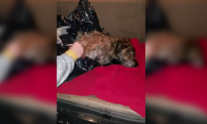 Dog Dumped in Trash Bag on the Side of the Road, Rescued by NYPD