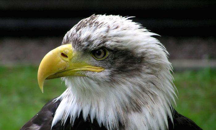 Bald eagle. (Adrian Pingstone/Public Domain)