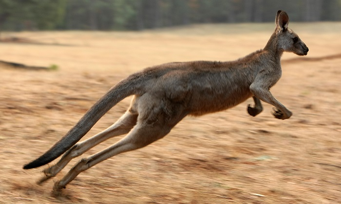 A file image of a kangaroo. There are nearly nine million kangaroos in the Western Plains area of the Australian state of New South Wales. Last year the kangaroo population there was more than 12 million. (Torsten Blackwood/AFP/Getty Images)