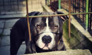 Pit Bull Grabs Baby by Diaper, Alerts Owners to Fire