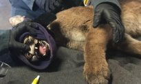Mountain Lion Cub with Burned Paws Being Treated with Tilapia Skin