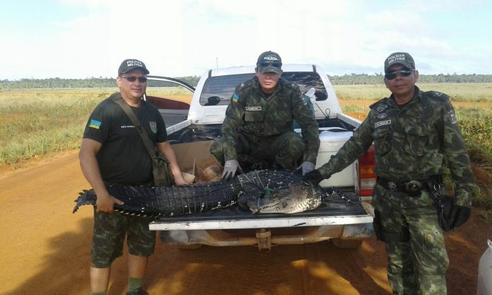 Brazilian Military Police discovered two alligators in a car trunk on Dec. 29, 2017. (Environmental Battalion of the Military Police, Brazil)