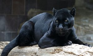 Black Panther Mauls Man to Death in Russian Private Zoo: Reports