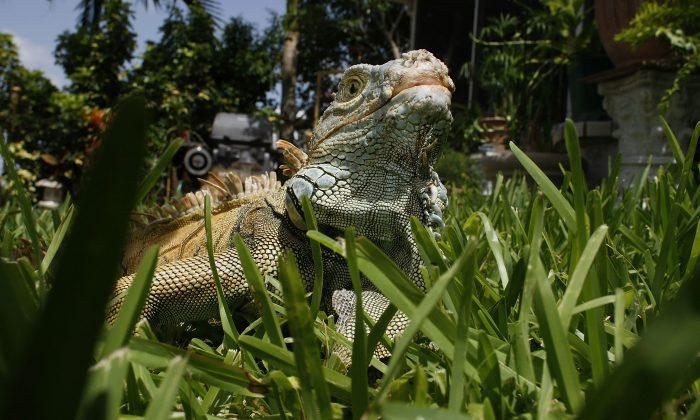 An Iguana is seen July 8, 2008, in Davie, Fla.  (Joe Raedle/Getty Images)