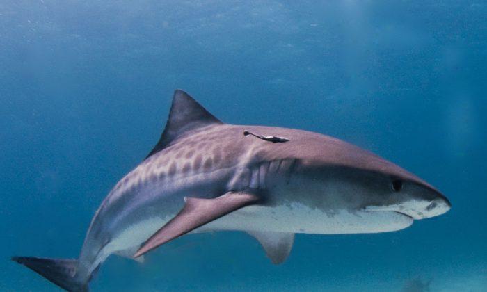 """A stock photo of a tiger shark (""""Tiger shark Bahamas"""" by Albert kok/Wikimedia [CC BY-SA 3.0; CC BY-SA 2.5; CC BY-SA 2.0; CC BY-SA 1.0])"""