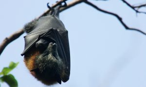 Heatwave Kills 'Thousands' of Large Bats in Australia