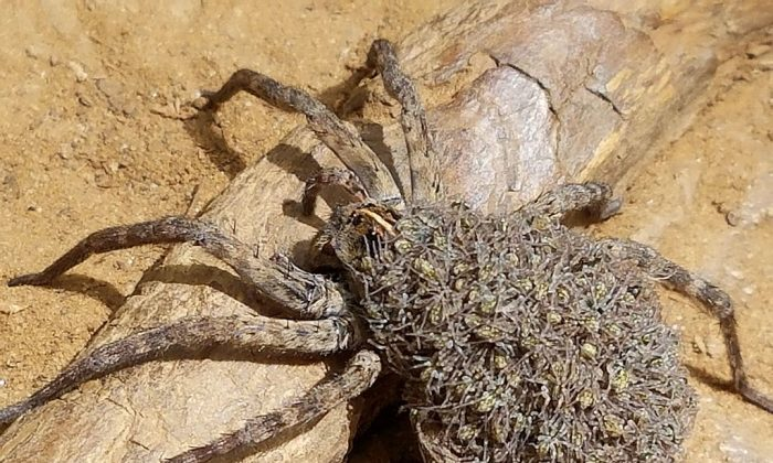 Female wolf spider with young at Northshore trail, Flower Mound, Texas, USA, on May 29, 2017.  (Celtikkat/Wikipedia Commons)