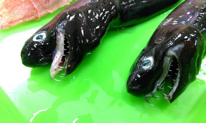 Two dead viper sharks discovered off Taiwan coast. (Taiwan Council of Agriculture)