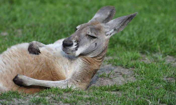 Kangaroo sunbathing. (Pixaxbay [CC0 Creative Commons] https://pixabay.com/en/kangaroo-it-lies-grass-zoo-lying-1995843/)