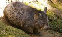 Wandering Wombat Surprises Woman in Australian Capital