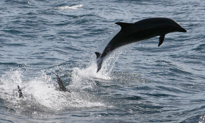 Bottlenose dolphins off the Southern California coast on Jan. 30, 2012, near Dana Point, Calif. (David McNew/Getty Images)