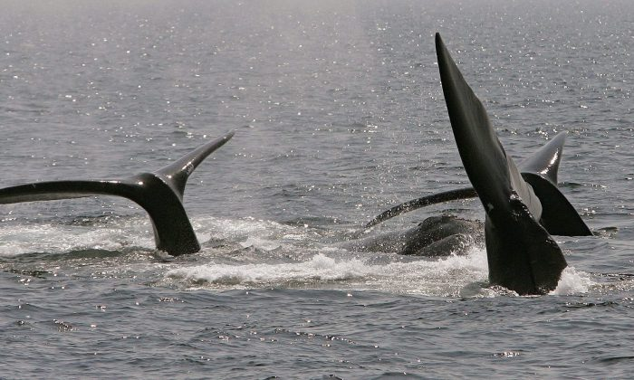 A ballet of three North Atlantic right whale tails break the surface in Cape Cod Bay near Provincetown, Mass., in this file photo. (AP Photo/Stephan Savoia, File)