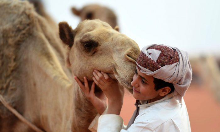 A Saudi boy poses for a photo with a camel at the annual King Abdulazziz Camel Festival in Rumah, some 150 kilometres east of Riyadh, on March 29, 2017.  The 28-day King Abdulaziz Camel Festival features a camel beauty contest, known as Miss Camel with prizes amounting to $30 million. (FAYEZ NURELDINE/AFP/Getty Images)