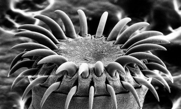 "An electron microscope image of a tapeworm's head. (""Tapeworm SEM"" by Mogana Das Murtey and Patchamuthu Ramasamy [CC BY-SA 3.0 (ept.ms/2Bw5evC)])"