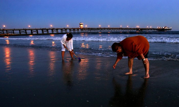 People dig for clams in California. (Carlo Allegri/Getty Images)