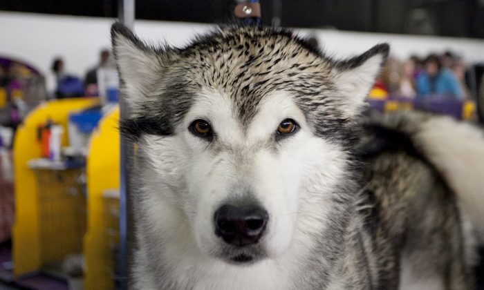 A husky at the Westminster Dog Show in New York, on Feb. 11, 2014. (Samira Bouaou/The Epoch Times)