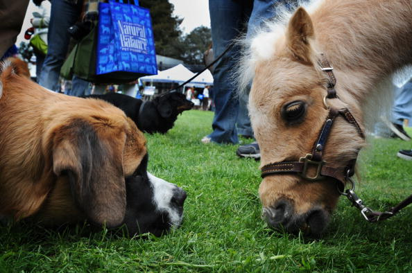 A Saint Bernard named Zuma watches a fully grown miniature horse named Willow on March 15, 2009. The first guide horse in the UK is being trained to help a visually impaired man. (Mark Ralston/AFP/Getty Images)