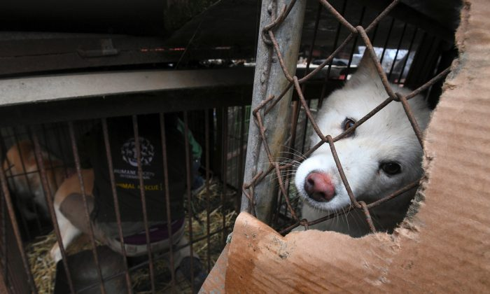 A dog looks out from a cage at a dog farm during a rescue event, involving the closure of the farm organized by Humane Society International (HSI) in Namyangju on the outskirts of Seoul on Nov. 28, 2017. (Jung Yeon-Je/AFP/Getty Images)