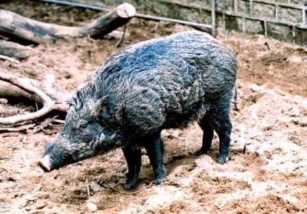 Adult wild boar. (Hong Kong Agriculture, Fisheries and Conservation Department)