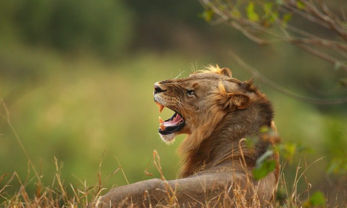 A lion relaxes on the banks of the Luvuvhu river at the Pafuri game reserve on July 21, 2010 in Kruger National Park, South Africa. (Cameron Spencer/Getty Images)