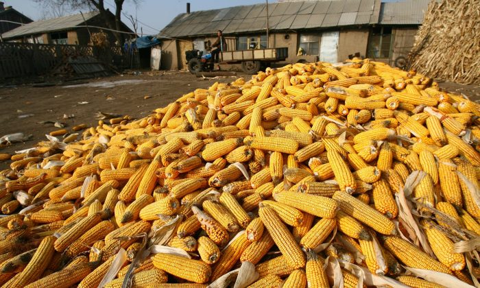 A farmer prepares to drive his farm vehicle beside corn cobs at the Shili Village of Kalun Township in Changchun city, Jilin Province, China, on December 21, 2006. (China Photos/Getty Images)