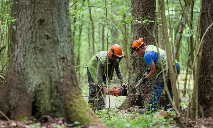 Forest workers cut down a spruce attacked by woodworm in Bialowieza Forest on May 31, 2016 near Bialowieza.   (Wojtek Radwanskia/AFP/Getty Images)