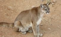 Second Cougar Sighting in Wisconsin This Month Surprises Homeowner