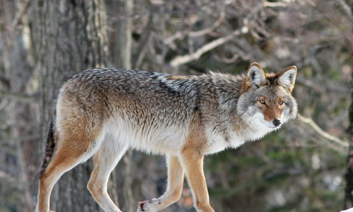 A coyote in New York. (Wildlife NYC)