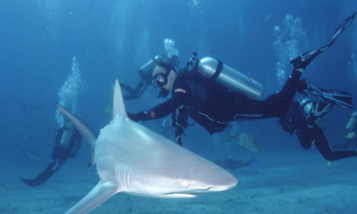 A diver interacts with a blacktip shark. (Albert Kok/Public Domain)