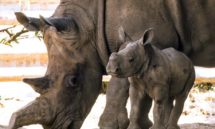 A 3-week-old female white rhinoceros with her mother Tanda, 21, at the Ramat Gan Safari, an open-air zoo near Tel Aviv, on Sept. 3, 2014. This species, while threatened, is distinct from the northern white rhino, the subject of the story. (Jack Guez/AFP/Getty Images)