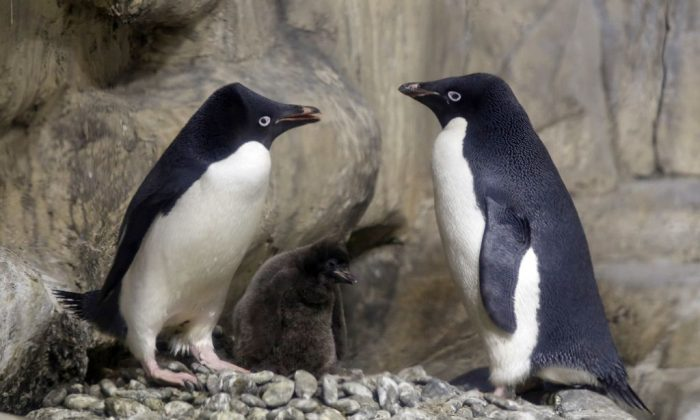 An Adelie Penguin chick less than a month old, is protected by its parents while remaining in a recreated antarctic environment in the zoo of Guadalajara, Jalisco state, Mexico on Jan. 17, 2018. (Ulises Ruiz/AFP/Getty Images)