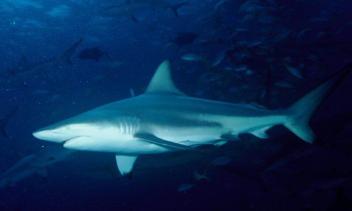 Blacktip shark. (Albert Kok/Public Domain)