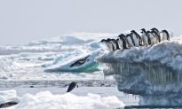 Penguin Mega-Colony Discovered Using Satellites and Drones, Raising Scientists' Hopes