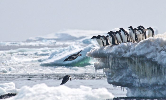 """Scientists recently discovered a """"supercolony"""" of more than 1,500,000 Adélie penguins in the Danger Islands, a chain of remote, rocky islands off the Antarctic Peninsula's northern tip. (Rachael Herman, Stony Brook U./ Louisiana State U.)"""