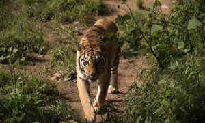 Zookeeper Mauled to Death by Tiger He Raised From Cub in China