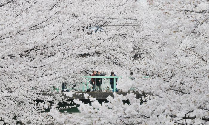From afar, a group of cherry trees in full bloom looks like a sea of clouds. (Toru Yamanaka/AFP/Getty Images)
