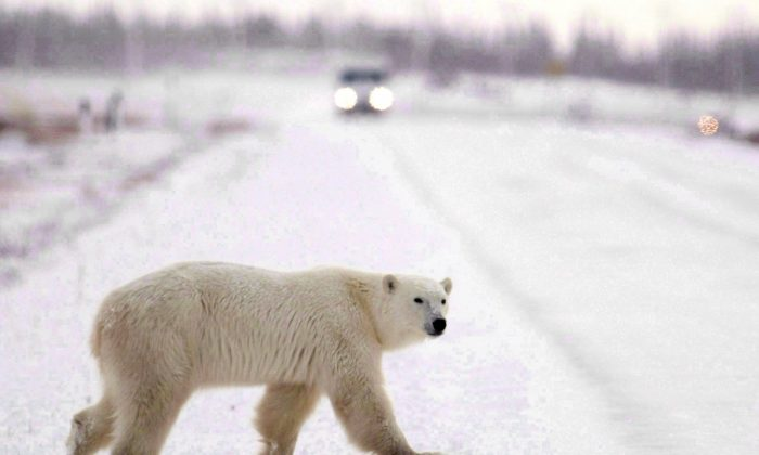A polar bear walks across the street in Churchill, Manitoba, in this file photo. People in southern Labrador and along Newfoundland's northern peninsula are reporting a lot of polar bear sightings in the last week as the huge animals make their annual trek north. (The Canadian Press/Jonathan Hayward)