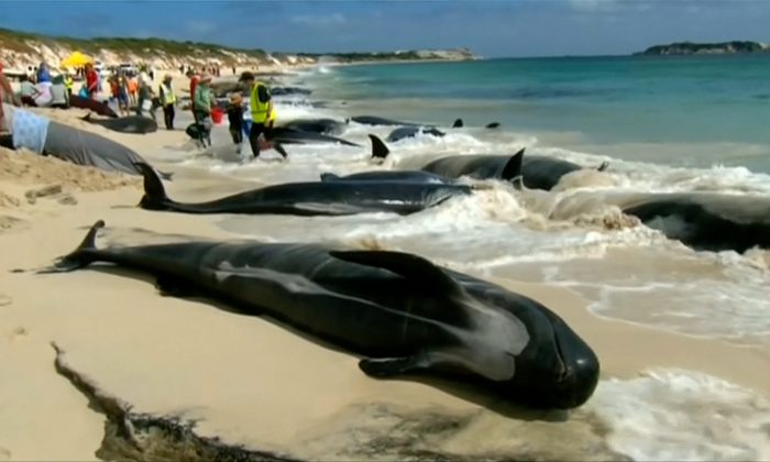 Beached whales in Australia get a helping hand. (Nine Network via Reuters)