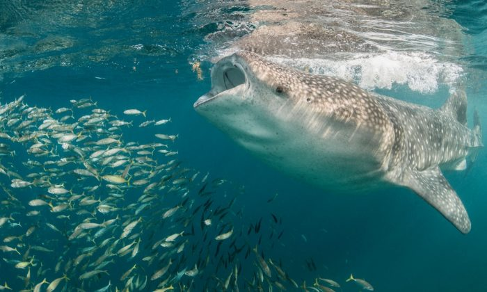 Whale shark feeding. (Image via SWNS)