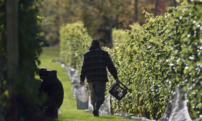 Workers pick grapes at the Luckett Vineyards in Wallbrook, N.S., on Oct. 19, 2017. (The Canadian Press/Andrew Vaughan)