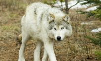 Book Review: 'The Wisdom of Wolves: Lessons From the Sawtooth Pack'