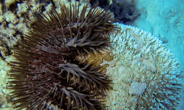 Crown of Thorns Starfish (Acanthaster planci) at Lizard Island, Australia. (Ryan McMinds via Flickr [https://creativecommons.org/licenses/by/2.0/])