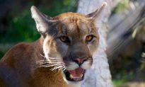 Cougar Kills US Mountain Biker, Mauls Another, Later Shot