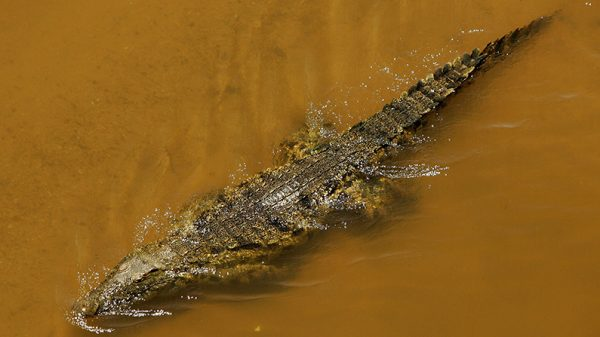 A Nile crocodile swims in Mpumalanga, South Africa. (Warren Little/Getty Images)