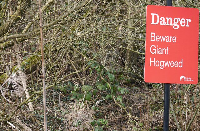 A sign warning people not to go near hogweed taken on March 7, 2015. (Smabs Sputzer [CC BY 2.0 (ept.ms/2haHp2Y)] via Flickr)