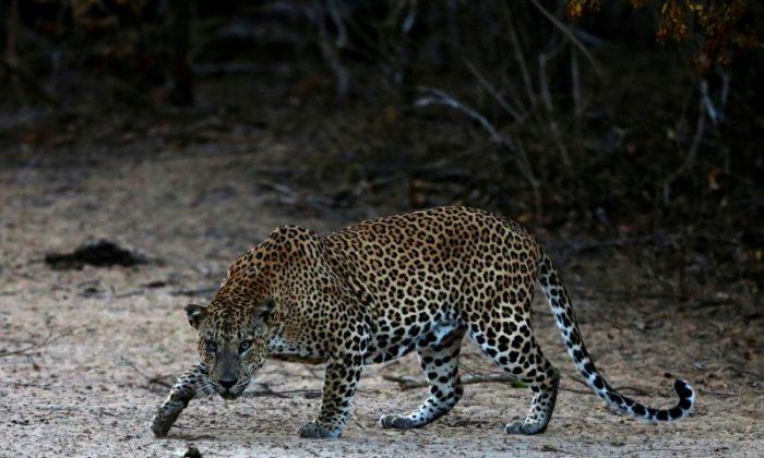 A leopard walks at Yala National Park in southern Sri Lanka Au. 24, 2014.   (REUTERS/Dinuka Liyanawatte/File Photo)